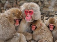 Snow Monkeys, Jigokudani, Nagano, Japan
