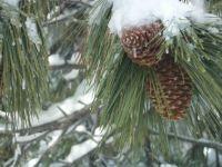 Pinecones 2
