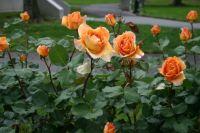 Sacramento Roses