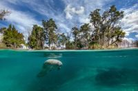 Florida, USA  Manatee