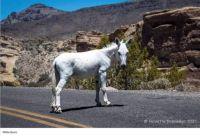 Rare white burro