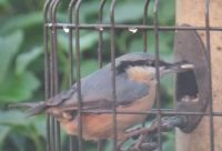 Nuthatch with dinner to go.