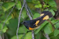 American Redstart, High Island, Texas by Greg Lavaty