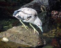Quivera Basin - Juvenile Night Heron