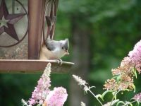 Titmouse likes the berries