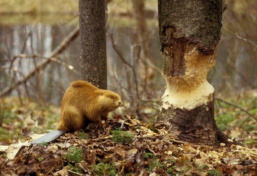 beaver_felled_tree