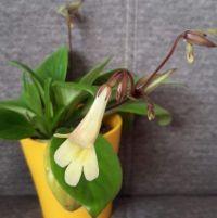 Primulina (chirita) Junco