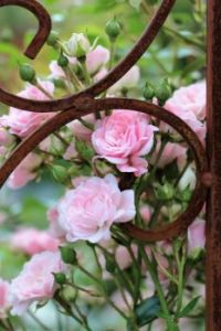 Rust and Roses