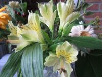 Alstroemeria  Close up