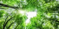 canopy of beech trees #2 Summer