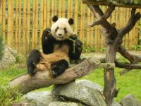 Panda in Zoo Madrid