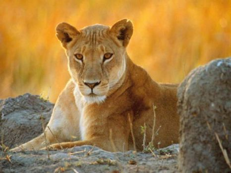 Watching lioness