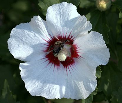 Bee in a Hibiscus flower