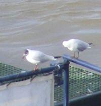 Black Headed Gulls - February 2021