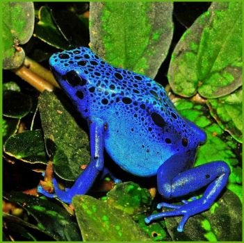 RICH BLUE DART FROG - SAVE OUR GREEN PHOTO