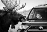 A moose at Antelope Flats in Grand Teton National Park, Wyoming.