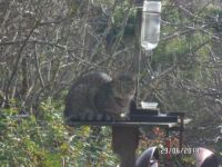 Louie Lincoln's family on our feeder
