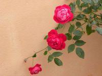 Bermuda Rose.