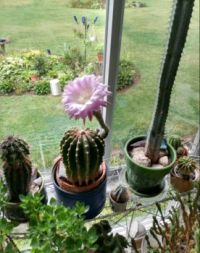 Our cactus bloomed 9/14/20