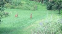 Fawns in the field