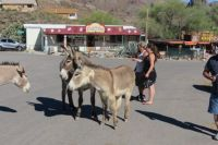 Unoffical Official Greeters Of Oatman, Arizona.