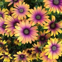 . African Daisies