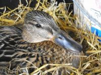 Wil duck on her nest in our shed