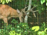 Buck with velvet