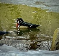 Wooded Duck, Central Park, NYC