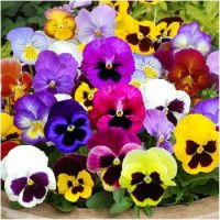 Pansies - A Sign Of Spring...