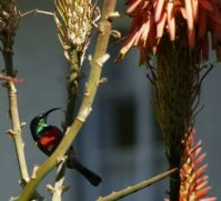 Sunbird in the Aloes