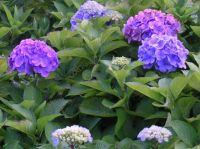blue hyndragias