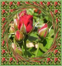 Růže - poupata...  Roses - buds...