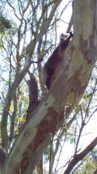 Koala climbing higher