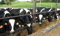 cattle-13384_960_720