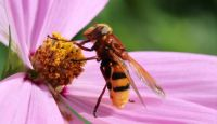 Hornet Hoverfly on our Cosmea