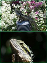 Water Dragon and Primula..