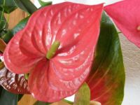 Anthurium in a bouquet
