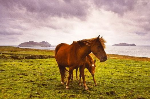 Dingle Peninsula Pony and Foal, near Dun Chaoin, Ireland