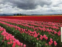 Tulip fields in Skagit Valley