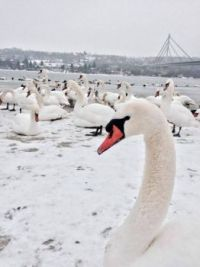 Swans on our rivers