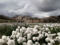 Cotton - Iceland - National Geographic