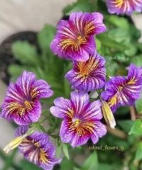 Alstroemeria (Lily-of-the-Incas, Peruvian Lily)