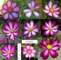 Fourth Cosmos / Cosmea Collage