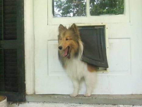 My sheltie going out of the cat door.