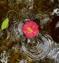 A camellia blossom gently floating down a stream in the rain [OC]