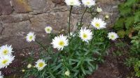 In our garden - Shasta Daisies