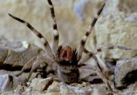 Worlds Most Dangerous Animals - Brazilian Wandering Spider