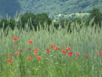 Poppies and triticale
