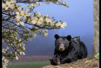 Bears in Spring